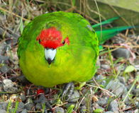 Red Crowned Parakeet. The Red-crowned Parakeet, (sometimes Red-fronted Parakeet) Cyanoramphus novaezelandiae, is a small species of parrot fromNew Zealand stock photos