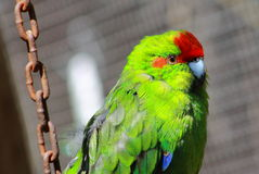 Red Crowned Parakeet Caged. The New Zealand red-crowned parakeet Cyanoramphus novaezelandiae, also known as kakariki, is a member of the Psittacidae family of Stock Image