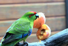 Red Crowned Parakeet Stock Photos