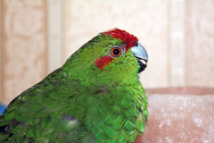 Red-crowned parakeet indoor Royalty Free Stock Images