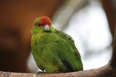 Red Crowned Parakeet New Zealand Birdlife. Red-crowned parakeets are medium-sized, emerald green parrots with an obvious red crown Royalty Free Stock Photo