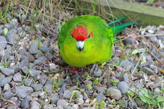 Red Crowned Parakeet. The New Zealand red-crowned parakeet Cyanoramphus novaezelandiae, also known as kakariki, is a member of the Psittacidae family of true stock images