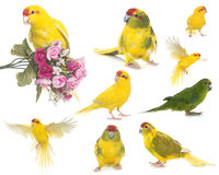 Red-crowned parakeet in studio. Red-crowned parakeet in front of white background Stock Photo