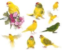 Red-crowned parakeet in studio Stock Photo