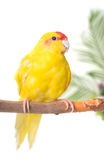 Red-crowned parakeet in studio Royalty Free Stock Images