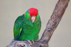 Red-crowned parrot, Amazona viridigenalis, Mexico. Bird from nature habitat. Red capped parrot sitting on the branch. Nature Stock Photos