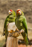 Red crowned parrots eating corn Royalty Free Stock Images