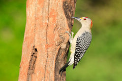 Red crowned woodpecker pecking for bugs Royalty Free Stock Images