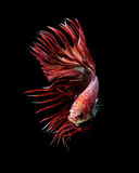 Red crowntail betta fish Royalty Free Stock Photos