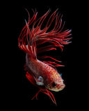 Red crowntail betta fish Stock Photo
