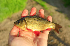 Red crucian on the palm. Caught red crucian on the human palm Royalty Free Stock Photos