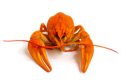 Red crawfish. Boiled crawfish is isolated on a white background Royalty Free Stock Image