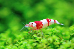 REd crystal shrimp Royalty Free Stock Photo