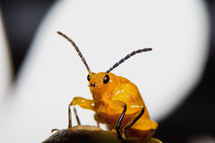 Red cucurbit leaf beetle. Close Royalty Free Stock Photos