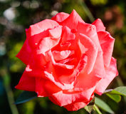 Red cultivated ornamental rose Royalty Free Stock Photography