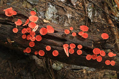 Red cup fungi stock photography