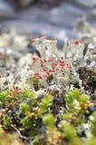 Red cup lichen. The red cup lichen Cladonia coccifera stock image