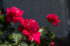 Red curly roses. Close-up. Isolated on natural background. stock image