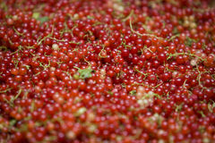 Free Red Currant Royalty Free Stock Photos - 10113048