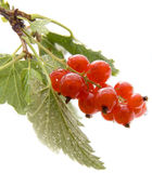 Red currant. On white with drops of water Stock Photos