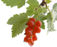 Red currant. On white Royalty Free Stock Photos
