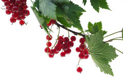 Red Currant. Branch of red currant isolated on a white background Stock Image