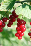 Red currant. Some red currants ,healthy fruit Royalty Free Stock Photos