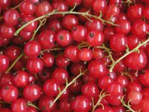 Red Currant. Background royalty free stock image