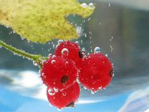 Red currant. In bank with water Stock Image