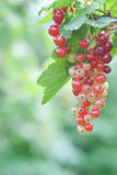 Red currant. A bunch of red currant on natural green background stock photography