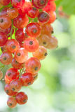 Red currant. A bunch of red currant on natural green background royalty free stock photo