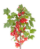 Red currant. Isolated on white background stock photo