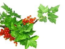 Red currant. On branch with foliage . Close-Up. Isolated stock photography