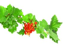 Red currant. On branch with foliage . Close-Up. Isolated royalty free stock photography