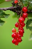 Red currant. Bunch Royalty Free Stock Images
