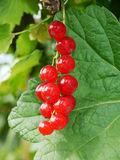 Red currant. Bunch ripe red currant in garden Stock Photo