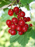 Red currant. This berry red currants in the garden Royalty Free Stock Photography