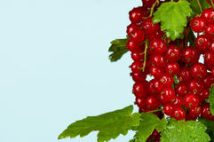 Red currant. Fresh ripe red currant on a branch close-up royalty free stock photo