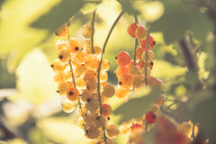 Free Red Currant Royalty Free Stock Images - 51329219