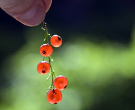 Red currant. Hold against green background Royalty Free Stock Image