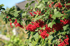 Red currant. Ripe red currant in a summer garden Royalty Free Stock Photography