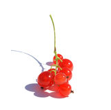 Red currant. Bush on a white background stock images