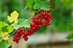 Red currant. Bunch of red currant and green leaves Royalty Free Stock Images