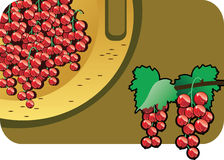 Red currant. Vector color illustration of a red currant.  The vector file is in AI-EPS8 format Stock Photos