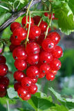 Red currant. A red currant grows on a bush stock photography