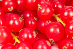 Red currant  as texture Royalty Free Stock Image