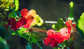 Red Currant. Backlit red currant berries in a beautiful summer morning Royalty Free Stock Images