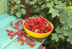 Red currant on the banch Stock Images