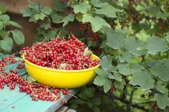 Red currant on the banch 2 Stock Photo