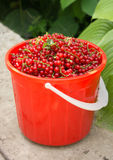 Red Currant basket Stock Photo